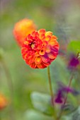 MORTON HALL GARDENS, WORCESTERSHIRE: KITCHEN GARDEN, SUMMER. ORANGE FLOWER OF DAHLIA NEW BABY , PLANT PORTRAIT, FLOWERS, CUTTING