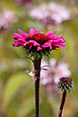 MORTON HALL GARDENS, WORCESTERSHIRE: PINK FLOWER OF ECHINACEA PURPUREA FATAL ATTRACTION , PLANT PORTRAIT, FLOWERS, CUTTING, SUMMER, JULY, PERENNIALS
