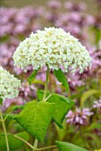 MORTON HALL GARDENS, WORCESTERSHIRE: WHITE FLOWER OF HYDRANGEA ANNABELLE , PLANT PORTRAIT, FLOWERS, CUTTING, SUMMER, JULY, SHRUBS