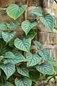 TANYA SOUTHWORTH GARDEN, LONDON, DESIGNER ANOUSHKA FEILER: SCHIZOPHRAGMA HYDRANGEOIDES MOONLIGHT. SUMMER, FLOWERING, LIMBERS, CLIMBING, GREEN, LEAF, LEAVES, FOLIAGE, SHRUBS, WALLS