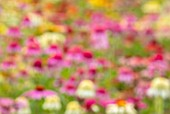 MEADOW FARM GARDEN AND NURSERY, WORCESTERSHIRE: ABSTARCT IMAGE OF ECHINACEAS IN THE NURSERY. PERENNIALS, ART, ARTISTIC, PINK, WHITE