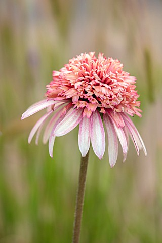 MEADOW_FARM_GARDEN_AND_NURSERY_WORCESTERSHIRE_PLANT_PORTRAIT_OF_PINK_APRICOT_FLOWERS_OF_ECHINACEA_ME