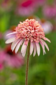 MEADOW FARM GARDEN AND NURSERY, WORCESTERSHIRE: PLANT PORTRAIT OF PINK, APRICOT FLOWERS OF ECHINACEA MEADOW FARM DOUBLE HYBRIDS. PERENNIALS, FLOWERING, LATE, SUMMER, CONEFLOWER