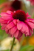 MEADOW FARM GARDEN AND NURSERY, WORCESTERSHIRE: PLANT PORTRAIT OF PINK, RED FLOWERS OF ECHINACEA MEADOW FARM HYBRIDS. PERENNIALS, FLOWERING, CONEFLOWERS