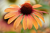 MEADOW FARM GARDEN AND NURSERY, WORCESTERSHIRE: PLANT PORTRAIT OF ORANGE FLOWERS OF ECHINACEA MEADOW FARM HYBRIDS CREAMY ORANGE. PERENNIALS, FLOWERING, CONEFLOWERS