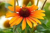 MEADOW FARM GARDEN AND NURSERY, WORCESTERSHIRE: PLANT PORTRAIT OF ORANGE FLOWERS OF ECHINACEA MEADOW FARM HYBRIDS ORANGE AND YELLOW SHORT. PERENNIALS, FLOWERING, CONEFLOWERS