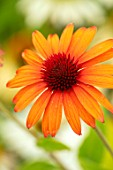 MEADOW FARM GARDEN AND NURSERY, WORCESTERSHIRE: PLANT PORTRAIT OF ORANGE FLOWERS OF ECHINACEA MEADOW FARM HYBRIDS ORANGE RED CONE. PERENNIALS, FLOWERING, CONEFLOWERS
