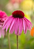 MEADOW FARM GARDEN AND NURSERY, WORCESTERSHIRE: PLANT PORTRAIT OF PINK FLOWERS OF ECHINACEA MEADOW FARM HYBRIDS. PERENNIALS, FLOWERING, CONEFLOWERS