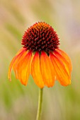 MEADOW FARM GARDEN AND NURSERY, WORCESTERSHIRE: PLANT PORTRAIT OF ORANGE FLOWERS OF ECHINACEA MEADOW FARM HYBRIDS. PERENNIALS, FLOWERING, CONEFLOWERS