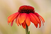 MEADOW FARM GARDEN AND NURSERY, WORCESTERSHIRE: PLANT PORTRAIT OF ORANGE, RED FLOWERS OF ECHINACEA MEADOW FARM HYBRIDS. PERENNIALS, FLOWERING, CONEFLOWERS