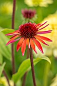 MEADOW FARM GARDEN AND NURSERY, WORCESTERSHIRE: PLANT PORTRAIT OF RED FLOWERS OF ECHINACEA MEADOW FARM RED HYBRIDS. PERENNIALS, FLOWERING, CONEFLOWERS