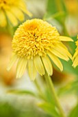 MEADOW FARM GARDEN AND NURSERY, WORCESTERSHIRE: PLANT PORTRAIT OF YELLOW FLOWERS OF ECHINACEA MEADOW FARM DOUBLE SOFT YELLOW HYBRIDS. PERENNIALS, FLOWERING, CONEFLOWERS