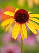 MEADOW FARM GARDEN AND NURSERY, WORCESTERSHIRE: PLANT PORTRAIT OF YELLOW FLOWERS OF ECHINACEA MEADOW FARM HYBRIDS. PERENNIALS, FLOWERING, CONEFLOWERS