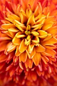 MEADOW FARM GARDEN AND NURSERY, WORCESTERSHIRE: PLANT PORTRAIT OF ORANGE, RED FLOWERS OF ECHINACEA MEADOW FARM DOUBLE HYBRIDS FECKENHAM FLAME. PERENNIALS, FLOWERING, ABSTRACT