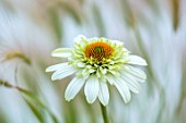 MEADOW FARM GARDEN AND NURSERY, WORCESTERSHIRE: PLANT PORTRAIT OF WHITE, ORANGE, FLOWERS OF ECHINACEA MEADOW FARM HYBRIDS. WHITE, ORANGE CENTRE. PERENNIALS, FLOWERING, CONEFLOWER