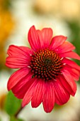 MEADOW FARM GARDEN AND NURSERY, WORCESTERSHIRE: PLANT PORTRAIT OF RED FLOWERS OF ECHINACEA MEADOW FARM HYBRIDS. PERENNIALS, FLOWERING, CONEFLOWERS
