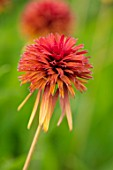 MEADOW FARM GARDEN AND NURSERY, WORCESTERSHIRE: PLANT PORTRAIT OF ORANGE, RED FLOWERS OF ECHINACEA MEADOW FARM DOUBLE HYBRIDS FECKENHAM FLAME. PERENNIALS, FLOWERING