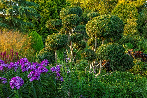 MEADOW_FARM_GARDEN_AND_NURSERY_WORCESTERSHIRE_CLOUD_PRUNED_CLIPPED_BOX_BUXUS_PHLOX_ADESSA_PURPLE_STA