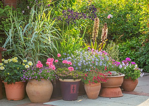 MEADOW_FARM_GARDEN_AND_NURSERY_WORCESTERSHIRE_PATIO_CONTAINERS__TAGETES_VANILLA_ARUNDO_DONAX_VARIEGA