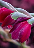 MEADOW FARM GARDEN AND NURSERY, WORCESTERSHIRE: PLANT PORTRAIT OF RED FLOWERS OF GLADIOLUS PAPILIO RUBY. FLOWERS, FLOWERING