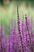 MEADOW FARM GARDEN AND NURSERY, WORCESTERSHIRE: PLANT PORTRAIT OF PINK FLOWERS OF LYTHRUM SALICARIA. FLOWERS, FLOWERING, SUMMER, PERENNIALS