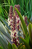 MEADOW FARM GARDEN AND NURSERY, WORCESTERSHIRE: PLANT PORTRAIT OF CREAM, DARK RED, BROWN FLOWERS OF EUCOMIS COMOSA OAKHURST. FLOWERS, FLOWERING, SUMMER