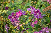 MEADOW FARM GARDEN AND NURSERY, WORCESTERSHIRE: PLANT PORTRAIT OF PURPLE FLOWERS OF CLEMATIS STAR OF INDIA. FLOWERS, FLOWERING, SUMMER, CLIMBER, CLIMBING