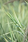 MEADOW FARM GARDEN AND NURSERY, WORCESTERSHIRE: PLANT PORTRAIT OF GREEN, CREAM, STRIPES, STRIPED LEAVES OF PHALARIS ARUNDINACEA PICTA FEESEY. SUMMER, GRASSES