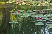 BENNETTS WATER GARDENS, DORSET: LAKE, WATER LILIES, WATERLILIES, POND, POOL, PINK, FLOWERING, REFLECTIONS, REFLECTED