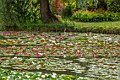 BENNETTS WATER GARDENS, DORSET: LAKE, WILLOWS, WATER LILIES, WATERLILIES, POND, POOL, PINK, FLOWERING, SUMMER
