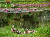 BENNETTS WATER GARDENS, DORSET: DUCKS BESIDE ONE OF THE LAKES WATER LILIES, WATERLILIES, POND, POOL, SUMMER