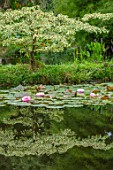 BENNETTS WATER GARDENS, DORSET: LAKE, POND, POOL, SUMMER, CORNUS CONTROVERSA VARIEGATA, WATERLILIES, WATER LILIES, NYMPHAEA LILY PONS, REFLECTED, REFLECTIONS