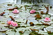 BENNETTS WATER GARDENS, DORSET: PINK FLOWERS OF WATER LILY - NYMPHAEA LILY PONS. WATER LILIES, SUMMER, FLOWERING, AQUATIC PERENNIALS