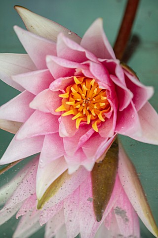 BENNETTS_WATER_GARDENS_DORSET_CLOSE_UP_PLANT_PORTRAIT_OF_PINK_FLOWER_OF_WATER_LILY__NYMPHAEA_AMABILI