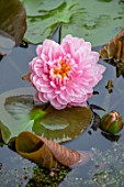 BENNETTS WATER GARDENS, DORSET: PLANT PORTRAIT OF PINK FLOWERS OF WATER LILY - NYMPHAEA LILY PONS. AQUATIC, PERENNIALS