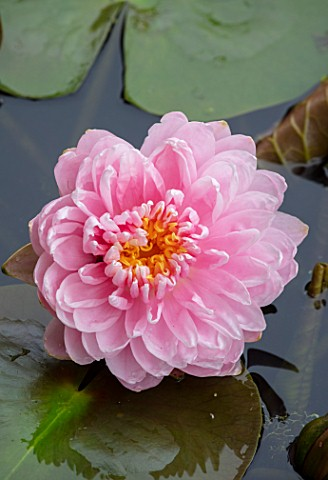 BENNETTS_WATER_GARDENS_DORSET_PLANT_PORTRAIT_OF_PINK_FLOWERS_OF_WATER_LILY__NYMPHAEA_LILY_PONS_AQUAT