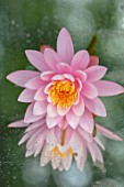 BENNETTS WATER GARDENS, DORSET: CLOSE UP PLANT PORTRAIT OF PINK, FLOWER OF WATER LILY - NYMPHAEA CAROLINIANA PERFECTA AGAINST A MIRROR. WATER LILIES, FLOWERING, AQUATIC PERENNIALS