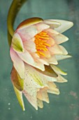 BENNETTS WATER GARDENS, DORSET: CLOSE UP PLANT PORTRAIT OF YELLOW, APRICOT FLOWER OF WATER LILY - NYMPHAEA SIOUX . WATER LILIES, FLOWERING, AQUATIC PERENNIALS