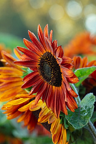 ASTON_POTTERY_OXFORDSHIRE_CLOSE_UP_PLANT_PORTRAIT_OF_ORANGE_BROWN_FLOWERS_OF_SUNFLOWERS_HELIANTHUS_A