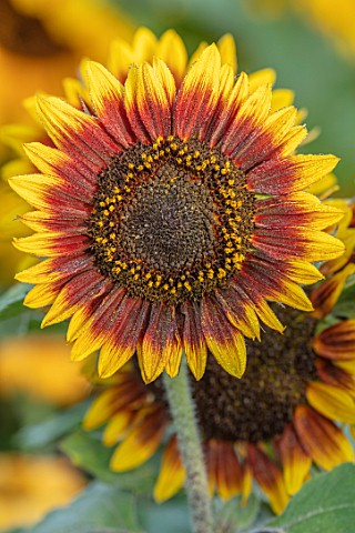 ASTON_POTTERY_OXFORDSHIRE_CLOSE_UP_PLANT_PORTRAIT_OF_YELLOW_BROWN_ORANGE_FLOWERS_OF_SUNFLOWERS_HELIA