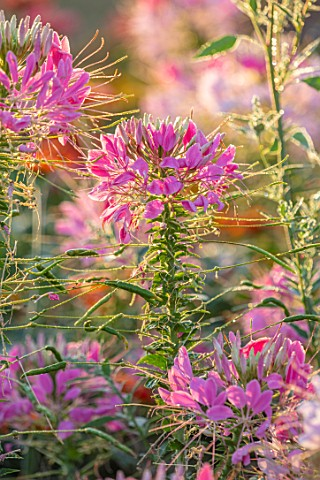ASTON_POTTERY_OXFORDSHIRE_PLANT_PORTRAIT_OF_PINK_FLOWERS_OF_CLEOME_SPINOSA_VIOLET_QUEEN_SPIDER_FLOWE