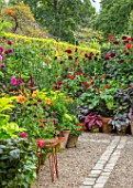 CLAUS DALBY GARDEN, DENMARK: BORDER OF CONTAINERS IN ORANGES AND REDS - DAHLIAS ARABIAN NIGHT AND RIP CITY, BEGONIA REX, ZINNIAS, ALOCASIA BLACK MAGIC. FOLIAGE, TERRACOTTA