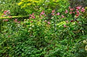 CLAUS DALBY GARDEN, DENMARK: LILIUM SPECIOSUM BLACK BEAUTY IN THE WOODLAND. BULBS, LILIES, RED, PINK, FLOWERS, SHADE, SHADY, GREEN