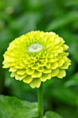 CLAUS DALBY GARDEN, DENMARK: PLANT PORTRAIT OF LIME GREEN, YELLOW FLOWERS OF ZINNIA ELEGANS ENVY DOUBLE. FLOWERS, BLOOMS, BLOOMING