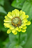 CLAUS DALBY GARDEN, DENMARK: PLANT PORTRAIT OF LIME GREEN, YELLOW FLOWERS OF ZINNIA ELEGANS ENVY. FLOWERS, BLOOMS, BLOOMING