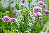 CLAUS DALBY GARDEN, DENMARK: PLANT ASSOCIATION, COMBINATION OF DAHLIA WIZARD OF OZ AND NICOTIANA SYLVESTRIS. PINK, WHITE, FLOWERS, BLOOMS