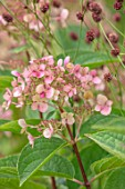 CLAUS DALBY GARDEN, DENMARK: PLANT PORTRAIT OF PALE PINK HYDRANGEA. FLOWERS, SHRUBS