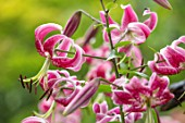 CLAUS DALBY GARDEN, DENMARK: CLOSE UP PLANT PORTRAIT OF LILIUM SPECIOSUM BLACK BEAUTY IN THE WOODLAND. BULBS, LILIES, RED, PINK, FLOWERS, SHADE, SHADY