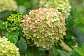 CLAUS DALBY GARDEN, DENMARK: CLOSE UP OF PINK, CREAM FLOWERS OF HYDRANGEA PANICULATA PINKY WINKY. FLOWERS, BLOOMS, BLOOMING, HYDRANGEAS, SHRUBS