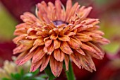 CLAUS DALBY GARDEN, DENMARK: CLOSE UP PLANT PORTRAIT OF THE RED, BROWN, COPPER, RUSSET, FLOWERS OF RUDBECKIA SAHARA. ANNUALS, SUMMER, FLOWERING, BLOOMS